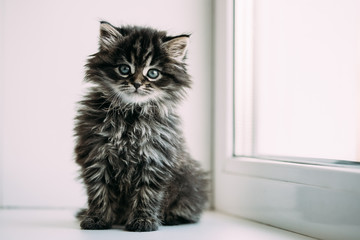 Funny Gray Small Domestic Cat Kitten Sitting On A White Window