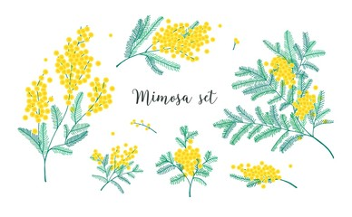 Set of beautiful yellow mimosa flowers or inflorescences and leaves isolated on white background. Bundle of parts of gorgeous spring flowering plant. Elegant floral decorations. Vector illustration.