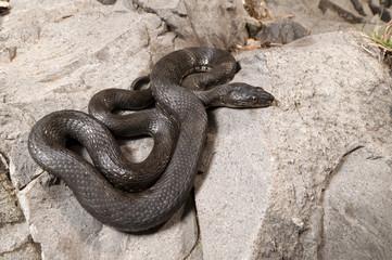 Würfelnatter (Natrix tessellata) - Dice snake