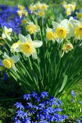 Narzissen im Frühling