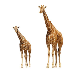 Reticulated Giraffes - mother and baby isolated on white background