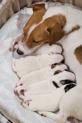 dog feeds the puppies,  Jack Russell Terrier