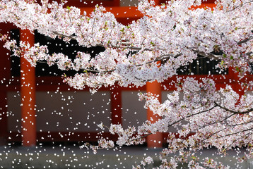 Fotobehang Kersenbloesem 神社の桜吹雪 京都