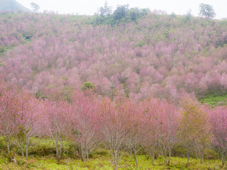 Mountain is covered with a pink king tiger tree or Thai cherry blossom, beautiful pink flowers at Phu Lom Lo Thailand Attractions