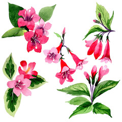 Wildflower weigela flower in a watercolor style isolated. Full name of the plant: weigela. Aquarelle wild flower for background, texture, wrapper pattern, frame or border.