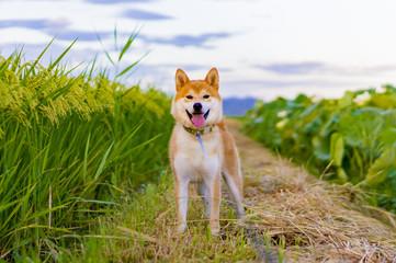 田んぼに佇む柴犬ボン