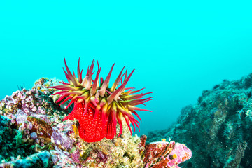 Rose Anemone on California Reef