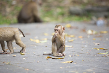 Monkeys of Monkey Hill Thailand Phuket