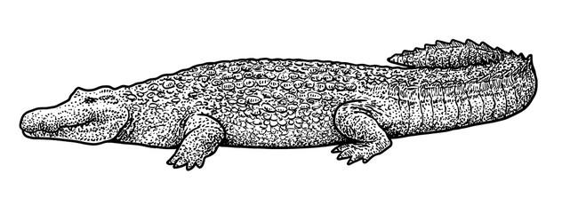 Crocodile illustration, drawing, engraving, ink, line art, vector