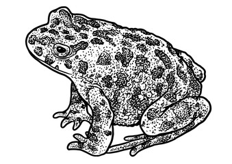 European green toad illustration, drawing, engraving, ink, line art, vector
