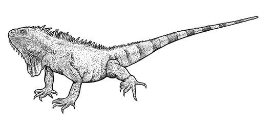 Iguana illustration, drawing, engraving, ink, line art, vector