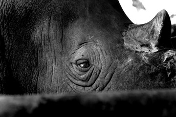 Close up in the rhino eye show sadness in the life.