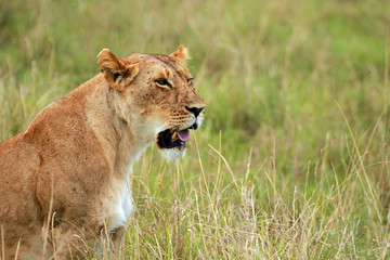African Lion female, Masai Mara National Reserve, Kenya