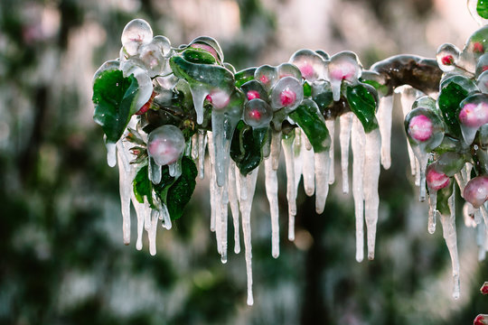 Layer of protective ice covering fruit trees