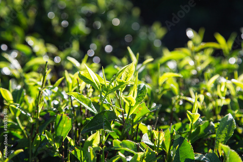 to study the acidity of diffrent samples of tea leaves Highly oxidized tea (eg black tea) has different acidity compared to unoxidized or lightly oxidized tea (eg green tea, oolong tea) 3 addition of milk: milk is a colloid that comprises of lactic acid, and hence is responsible for an increase in acidity in tea.