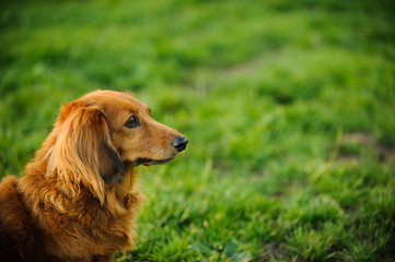 Longhaired Miniature Dachshund dog outdoor portrait in green grass