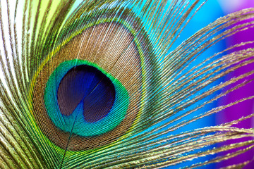 Foto op Canvas Pauw Peacock color feather