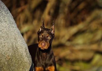Search Photos Doberman Pinscher Dog