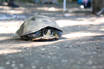 river turtle shrank his head on the ground