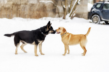 German shepherd and Labrador, sniffing each other