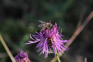 Bee on a flower / pszczoła na kwiatku