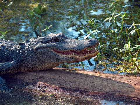 Alligator in a Green Bayou in Louisiana on a Swamp Tour