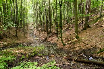 Forest Gully in Srubita Nature Reserve during Summertime, Beskid Zywiecki, Poland