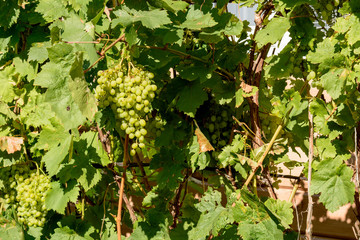A large bunch of green grapes on the branch in the rays of the bright sun on a clear day