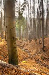 View of forest in Srubita Nature Reserve during autumn, Beskid Zywiecki, Poland