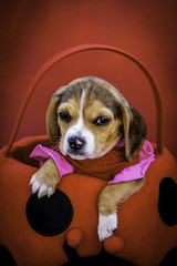 Beagle Puppy Wearing a Pink and Red Dress Sitting in a Ladybug Basket against a Red Background