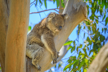 Foto op Textielframe Koala Close up of adult male koala, Phascolarctos cinereus, sleeps lying on branch of eucalyptus in Yanchep National Park in Western Australia. Yanchep has been home to a colony of koalas since 1938.