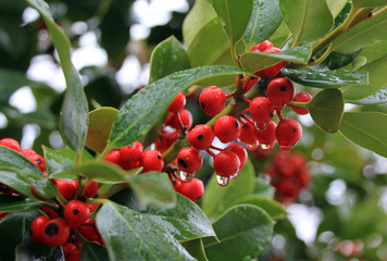 Branch holly with red berries and water drops
