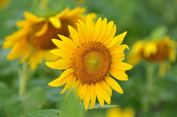 Colorful flowers, yellow sunflowers in the garden.