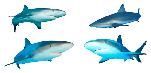 Caribbean Reef Sharks isolated on white background