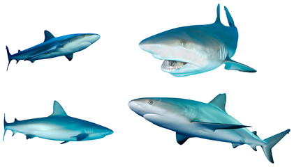 Sharks collection. Caribbean Reef Sharks isolated white background