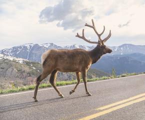 Big bull elk walking on road