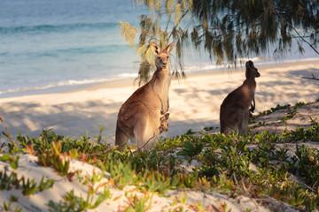 Photo sur Toile Kangaroo Kangaroos on the beach