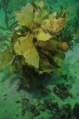 Single specimen of brown stalked kelp Ecklonia radiata with frond partially eaten by herbivores in murky bay.