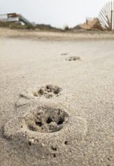 Close up View of Paw Prints in Sand