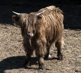 Vache highland à Ambronay, Ain, France