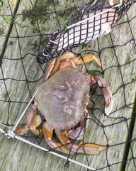 Dungeness Crab in net