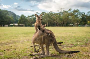 Kangaroos, native Australian Wildlife animals