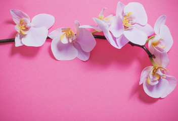 orchids on pink background