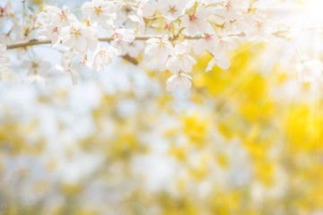 Wall Mural - Cherry blossom in spring, full bloom flowers for background or copy space for text