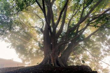 Old tree with sun rays shining through foliage.