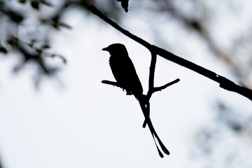 silhouette of Black Drongo bird