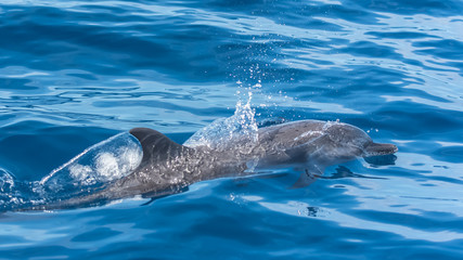 Pan tropical spotted dolphin, dolphin swimming in blue sea