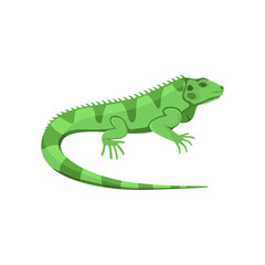 Vector illustration of a green iguana isolated on white background.
