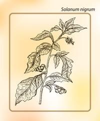 European black nightshade (Solanum nigrum).  Hand drawn Sketch Vector Illustration. Drawing Ink