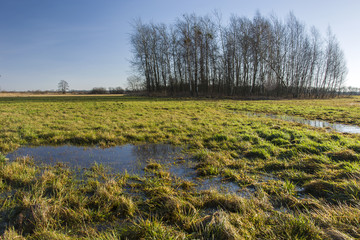 Wet meadow before a copse and transparent sky